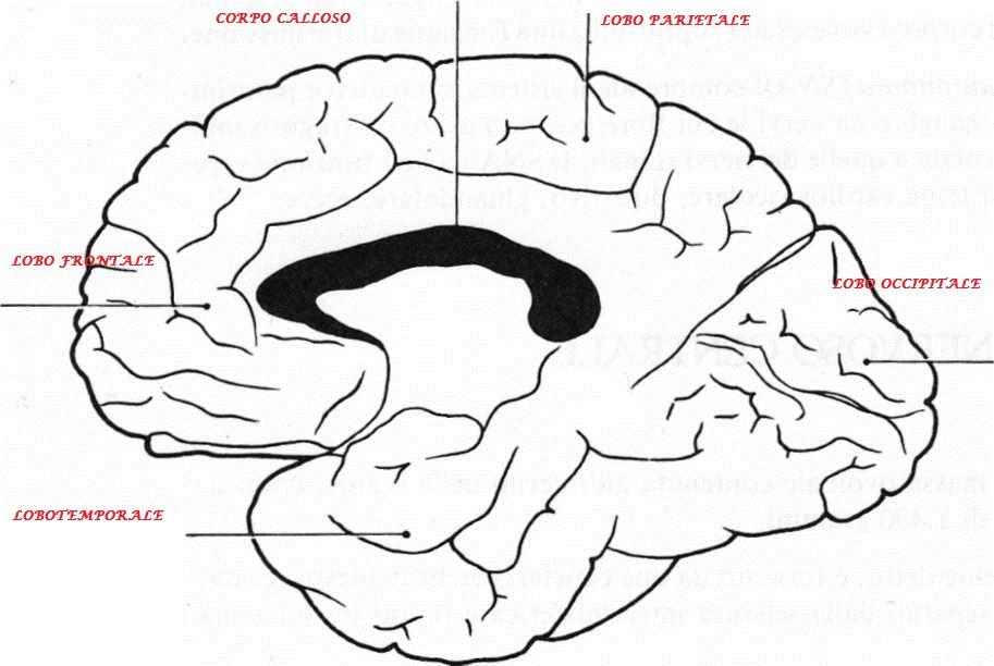 suddivisione della corteccia cerebrale