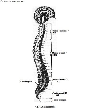 le radici spinali e suddivisione del tronco midollare ESCAPE='HTML'