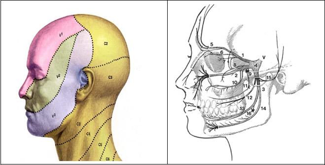 La parte sensitiva del nervo trigemino valutabile da questo disegno.