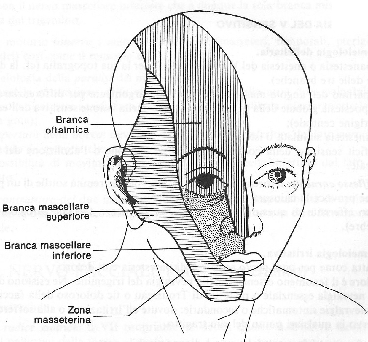il nervo trigemino nello studio delle affezioni a cui è soggetto.